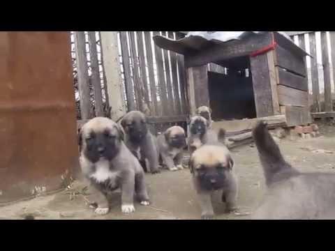 Kangal puppies 3