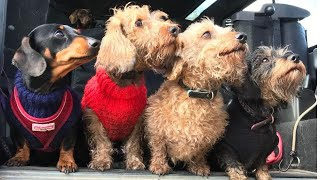 Funny Dachshund Dogs with his friends Outdoor  playful time  #Cutedogsvideos #funnypetvideos