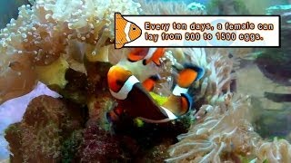 Sex have How clown fish do