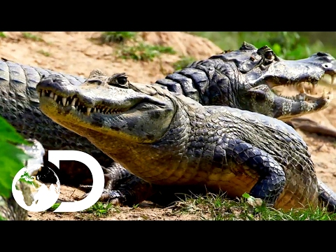 Hunting Caiman To Survive | The Wheel, Tuesdays At 10PM