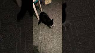 Чёрный кот поймал мышку. Домашние животные
