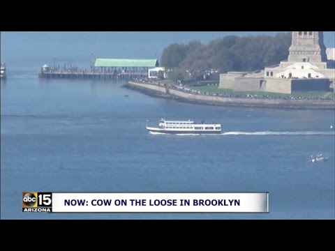 LIVE: MOO! Cow on the loose in Brooklyn
