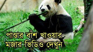 কিভাবে পাণ্ডারা বাঁশ খায় মজার সেই ভিডিও দেখুন | Panda Facts And Funny Videos