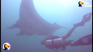 GIANT Manta Ray Asks Diver for Help | The Dodo