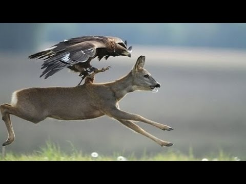 Eagle Attacks Animals Dog, Birds, Drone, Goose, Kangaroo - Animal Attack Compilation