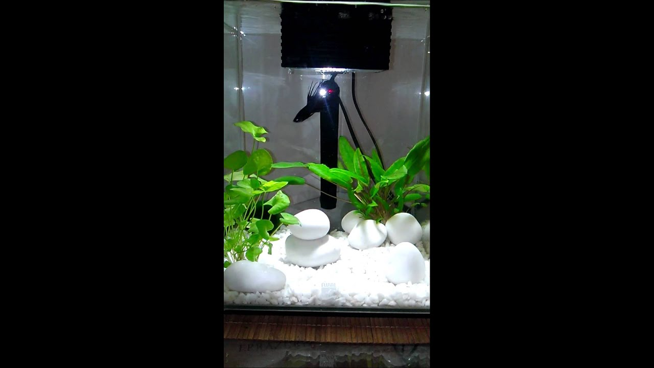 happy black male crowntail betta in 19l fluval chi fish tank youtube. Black Bedroom Furniture Sets. Home Design Ideas