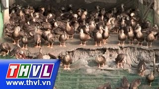 THVL | Nông dân miền Tây – Kỳ 53: Ông Nguyễn Khả Cư với mô hình nuôi vịt trời
