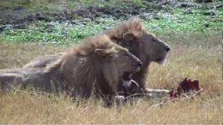tanzania safari nel cratere del ngorongoro parte 2 16