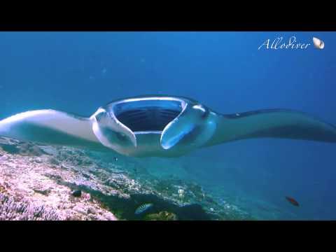 Bali diving mola mola, manta * Дайвинг на Бали рыба-луна, манты