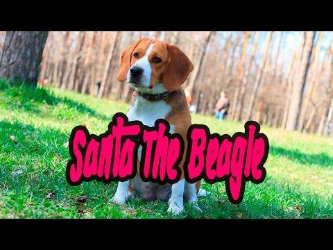 Santa The Beagle - Beagle Meetup In The Park
