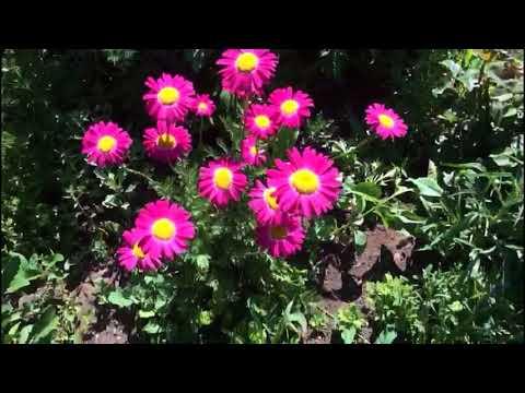 Пиретрум красный или кавказская ромашка