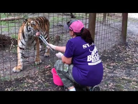 Flea Treating 70+ BIG Cats