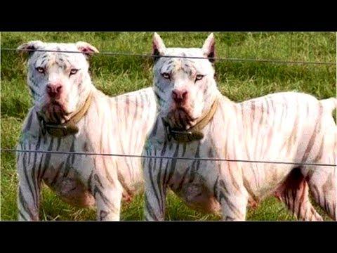15 Races De Chiens Pitbull Chiens Puissant Et Attachant