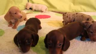 Mini Dachshund Puppies For Sale In Co