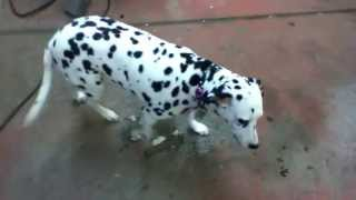 Dalmatian Sisters Rescued Dogs