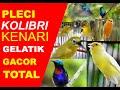 Kompilasi Kicau Burung Pleci Kolibri Kenari Dan Gelatik  Mp3 - Mp4 Download