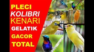 Kompilasi Kicau Burung Pleci, Kolibri, Kenari dan Gelatik