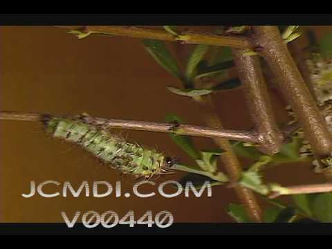 Time Lapse silk moth caterpillar molts its skin V00440