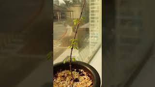 겨울철 단풍나무 키우기