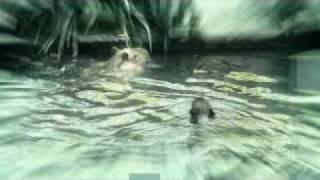 CAPYBARAS  having  zoo SEX!!