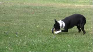 Agility Tricks Part 3 Dog Walking The Catwalk
