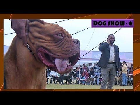 अजमेर डॉग शो Ajmer Dog Show, French Mastiff dog Winner ( Rajasthan , India ) News