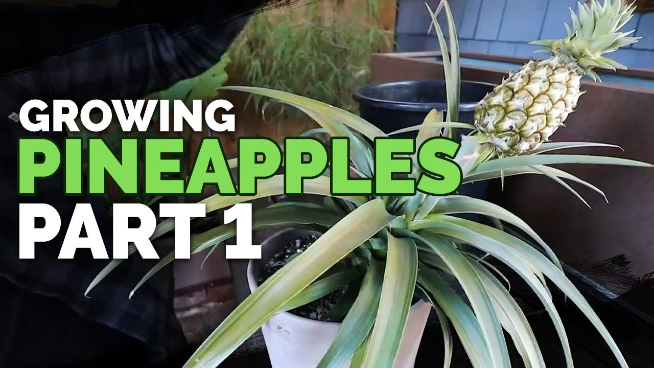How to Grow Pineapple Part 1: Care and Propagation