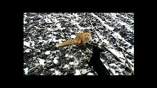 Охота с ягдтерьером (две лисы)