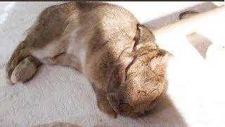 Rabbit basking in the sun falls asleep like a baby ひなたぼっこ中に眠りに落ちるウサギ