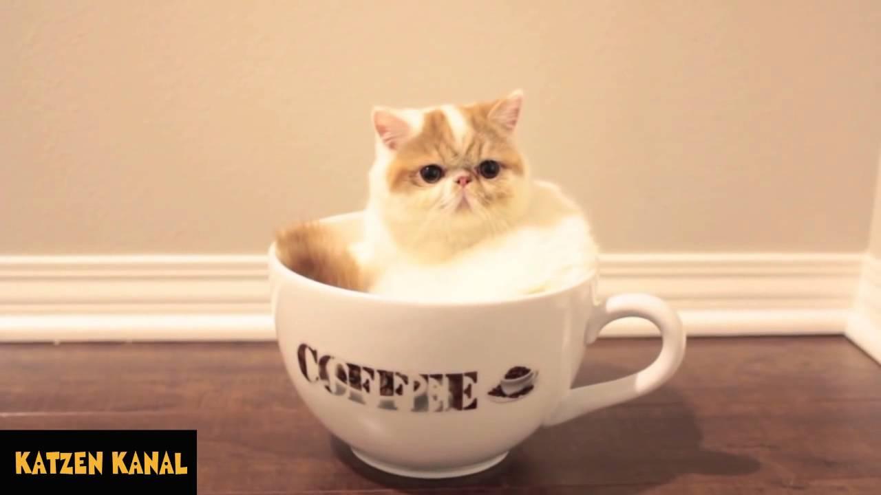 Lustige Kaffee Katze Youtube