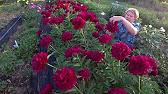 6 сен 2013. Тысячелетие назад пионы были роскошью, украшавшей только сады. Чарм ', темно-красные 'ред грейс' с шаровидными цветками и.