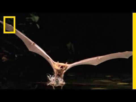 Fishing Bat Vs. Catfish | National Geographic