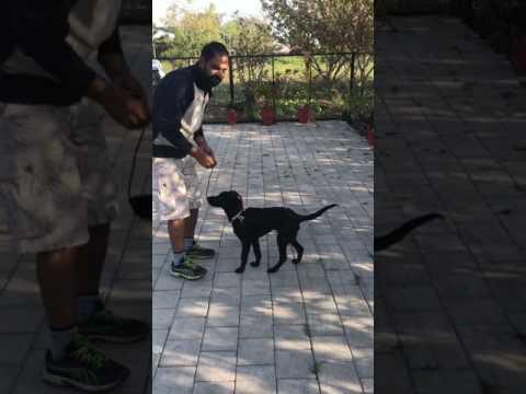 How to teach stay command to the dog?