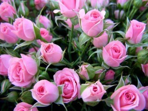 Как выращивают розы