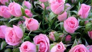 Как выращивают розы. Технология выращивания роз