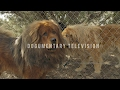 ALL ABOUT TIBETAN MASTIFF: LOYAL GUARD DOG AND SO MUCH MORE の動画、YouTube動画。