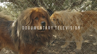 TIBETAN MASTIFF: LOYAL GUARD DOG AND SO MUCH MORE