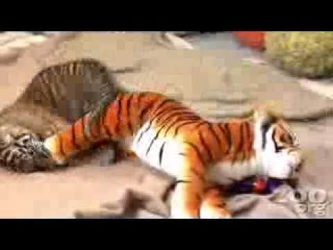 Un b b tigre mignon tout plein youtube - Bebe tigre mignon ...