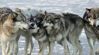 Вой волка самца - вожака