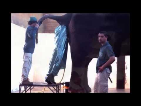 Elephant Ass Video