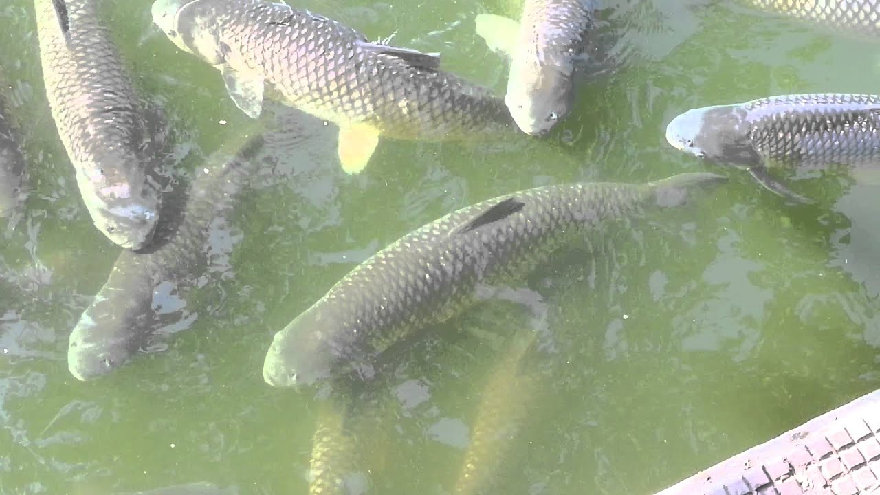 Yummy fishes in rabindra sarobar kolkata india youtube for Koi pond india