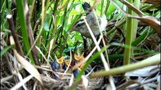 Камышовка–барсучок кормит птенцов  Acrocephalus schoenobaenus