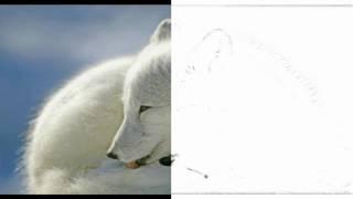 Auto Draw 2: Arctic Fox, Canada