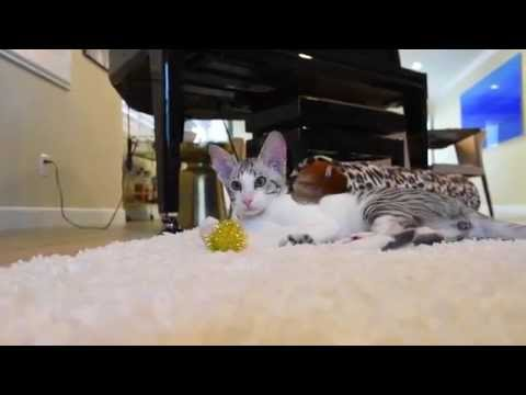 Adorable Oriental Shorthair Cat Video
