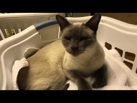 Lil' Snicks, our talking Siamese cat