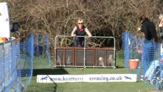 Kent Terrier Racing At The English Festival 2013