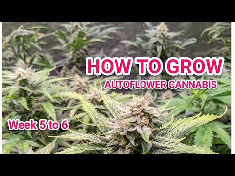 HOW TO GROW AUTOFLOWER ORGANIC BUDS AND SUPER SOIL  – NEW SECRET JARDIN 4×4 AND 4X2 TENTS