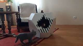 Jak przywitać kota w Nowym Domu ? Hodowla Kotów Brytyjskich Z Jawornika*PL