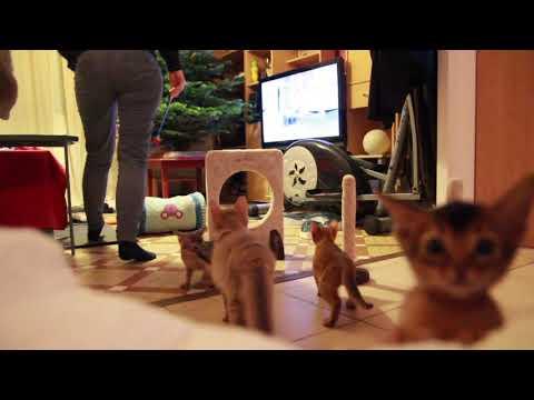 Agility kittens - Abyssinian & Somali cat