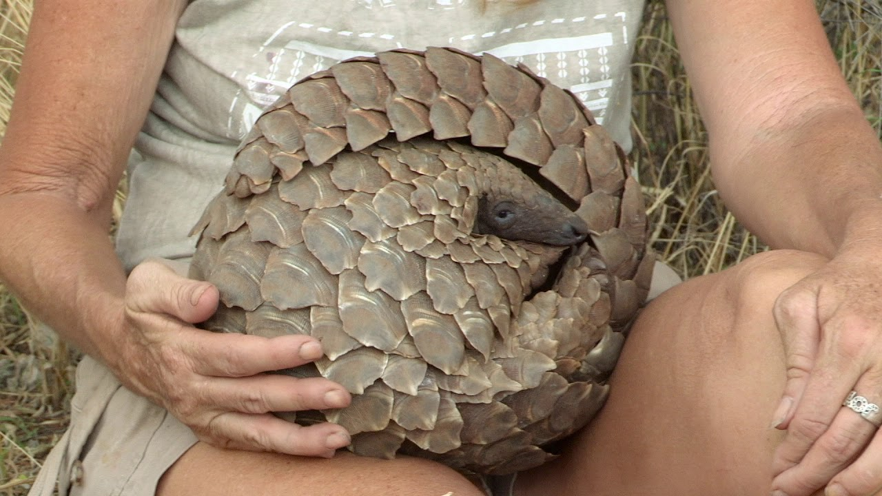 What is a Pangolin  The Pangolin No Time to REST  YouTube